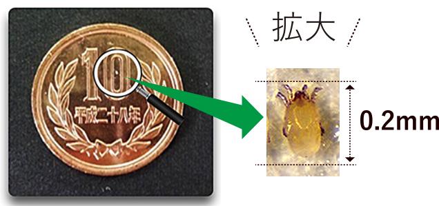 10円硬化の上のダニ